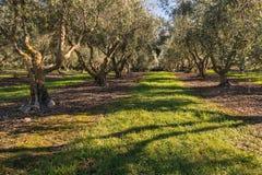 Oliveto con di olivo maturi in autunno Fotografia Stock Libera da Diritti