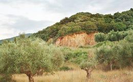 Oliveto in Grecia del sud Fotografia Stock Libera da Diritti
