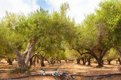 Oliveto irrigato fotografie stock