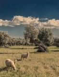 oliveto sull'isola di Mallorca Fotografie Stock Libere da Diritti