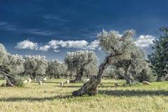 oliveto sull'isola di Mallorca Immagine Stock