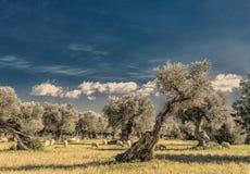 oliveto sull'isola di Mallorca Fotografia Stock Libera da Diritti