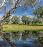 oliveto sull'isola di Mallorca Immagini Stock