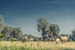 oliveto sull'isola di Mallorca Fotografia Stock
