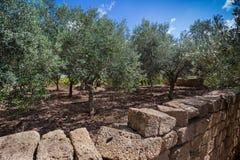 Oliveto tipico sulla costa ovest della Sicilia Fotografie Stock