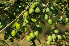 Olivgrön 01 Arkivfoto