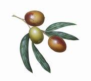 olivgrön Arkivbild