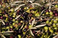 olivgrön Royaltyfria Foton
