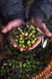 olivgrön Arkivfoton