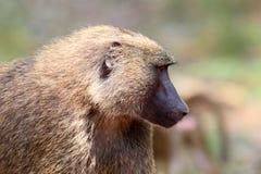 Olivgrön Baboon Arkivfoto
