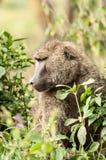 Olivgrön Baboon Arkivbilder
