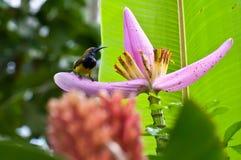 Olivgrön-bakSunbird Royaltyfria Foton