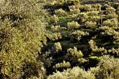 Olivgrön dunge i bergiga Messinia, Grekland Royaltyfri Foto