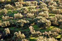 Olivgrön dunge i Grekland, Peloponnese region Arkivbild