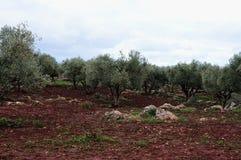 Olivgrön dunge i kartbokberg, Marocko Arkivfoto