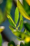 Olivgrön filial Arkivfoton