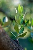 Olivgrön filial Royaltyfria Bilder