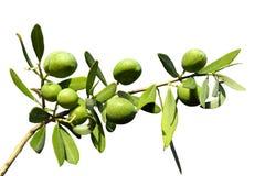 Olivgrön filial på en isolerad bakgrund Royaltyfria Foton