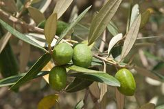 Olivgrön på den olive treen Arkivfoto