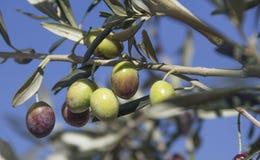 Olivgrön på filial arkivbilder