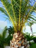 Olivgrön palmträdnärbild Fotografering för Bildbyråer