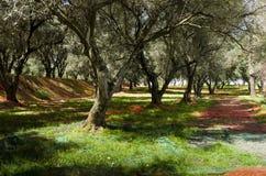 Olivgrön skördmetod i Calabria Royaltyfri Foto