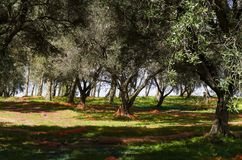Olivgrön skördmetod i Calabria Royaltyfri Fotografi