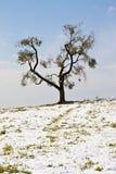 Olivgrön tree Royaltyfri Bild