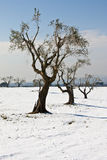 Olivgrön tree Royaltyfri Foto