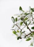 Olivgrön tree i vinter Arkivfoton