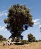 olivgrön tree3 Arkivbild