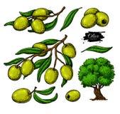 Olivgrön uppsättning Räcka den utdragna vektorillustrationen av filialen med grön mat, trädet, oljadroppe Isolerad teckning på vi royaltyfri illustrationer
