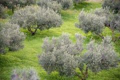 Olivgröna dungar i söderna av Spanien i Andalusia arkivbild