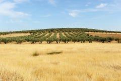 Olivgröna dungar och sädesslag i Castilla la Mancha, Spanien Arkivbild