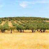 Olivgröna dungar och sädesslag i Castilla la Mancha, Spanien Arkivfoto
