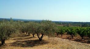 Olivgröna dungar och vingårdar Royaltyfri Fotografi