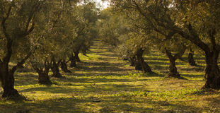 Olivgröna trees Royaltyfri Foto