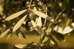 Olivgröna trees Arkivbild