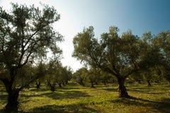 Olivgröna trees Arkivfoto
