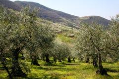 Olivgröna trees Royaltyfria Bilder