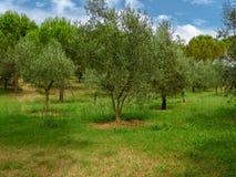 Olivgröna trees i trädgård Arkivbilder