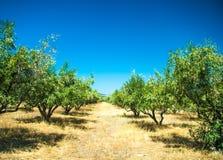Olivgröna trees på den Grekland landssidan Arkivbild