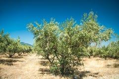 Olivgröna trees på den Grekland landssidan Royaltyfria Bilder