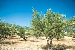 Olivgröna trees på den Grekland landssidan Royaltyfri Fotografi