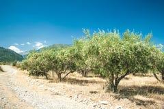 Olivgröna trees på den Grekland landssidan Fotografering för Bildbyråer