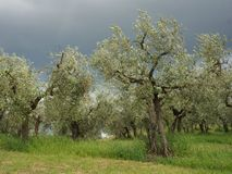 Olivgröna trees under den dramatiska mörkerskyen Fotografering för Bildbyråer