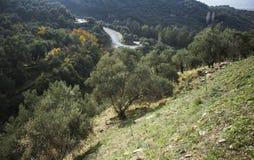 Olivgrönt fält på kullen royaltyfria foton