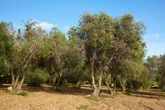 Olivgrüne Anlage Stockfotografie
