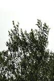 Olivgrüne Baumaste Stockfotos