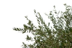 Olivgrüne Baumaste mit Oliven Lizenzfreies Stockbild